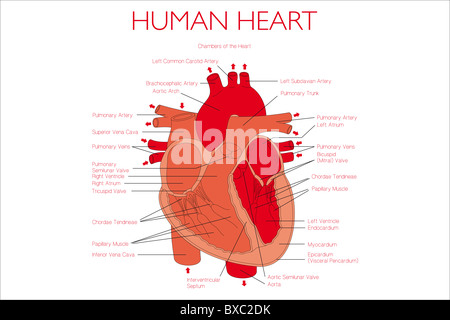 Human heart illustration with descriptions - Stock Photo