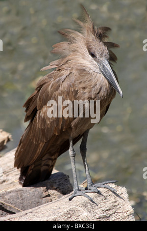 Hamerkop Scopus umbretta Taken at Ziway Lake, Ethiopia - Stock Photo