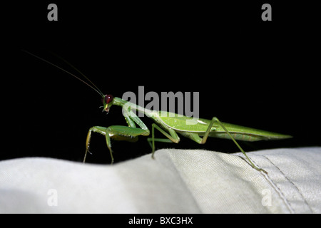 Mantid Sitting On A Persons Shirt Sleeved Arm, Arba Minch, Ethiopia - Stock Photo