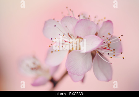 Pink cherry blossom flowers close-up - Stock Photo