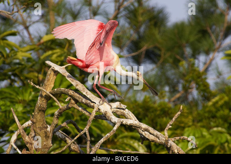 Roseate spoonbill (Platalea ajaja) walking down tree branch at St Augustine Alligator Farm, Florida, USA - Stock Photo