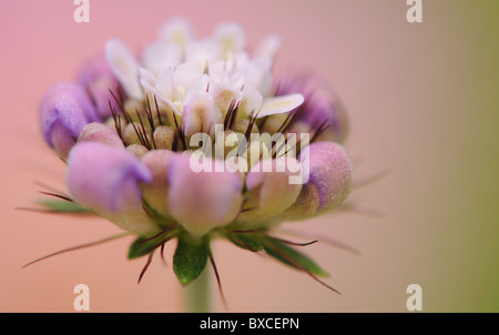 A Scabious Flower bud opening - Scabiosa - Pincushion flower - Stock Photo