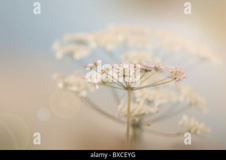 Anthriscus sylvestris - Cow Parsley or Queen Anne's lace  flowers with Sun Flare / Lens Flare - Stock Photo
