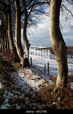 Winter Beech Trees and Melbury Beacon, Dorset which is situated near Shaftesbury in the Blackmore Vale - Stock Photo