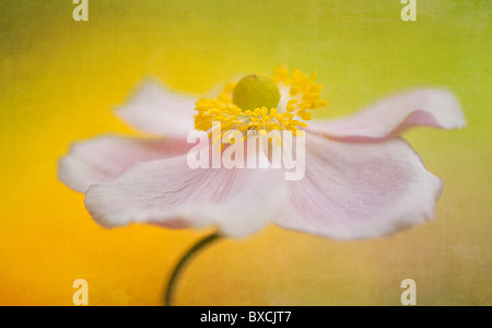 A single pink Japanese Anemone flower - Anemone Japonica - Stock Photo