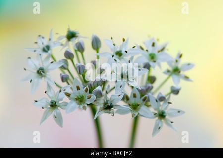 Allium ursinum - White Wild Garlic flowers - Stock Photo