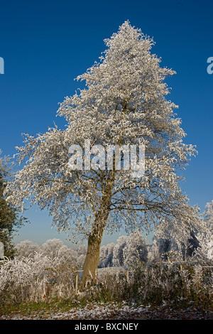Hoarfrost on trees - United Kingdom - Stock Photo