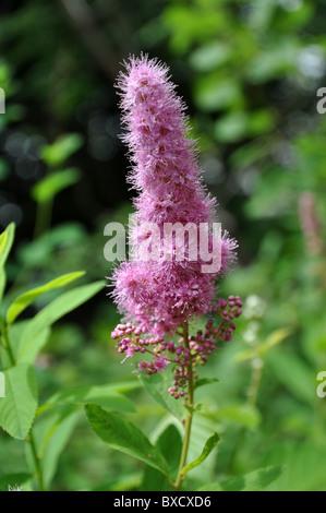 Beatiful pinkish Spirea Douglas in French mountain area - Stock Photo