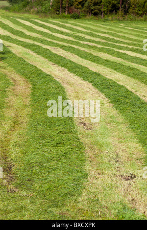 Rows of freshly cut grass for animal feeding lying at the field waiting for collecting - Stock Photo