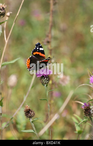 close up of a Red Admiral (Vanessa atalanta) butterfly on a pink or purple flower, Common Knapweed (Centaurea nigra) - Stock Photo