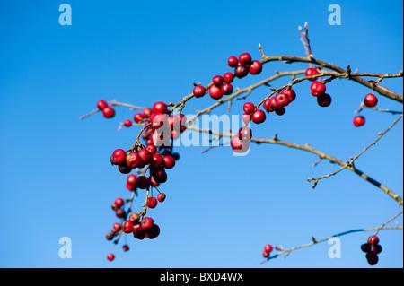 Malus 'Snowcloud', Crab Apple Tree, in fruit in November - Stock Photo
