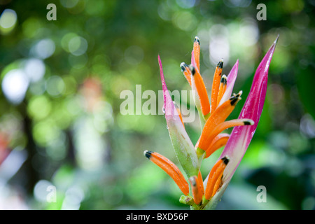 A heleconia plant at Turtle Bay. - Stock Photo