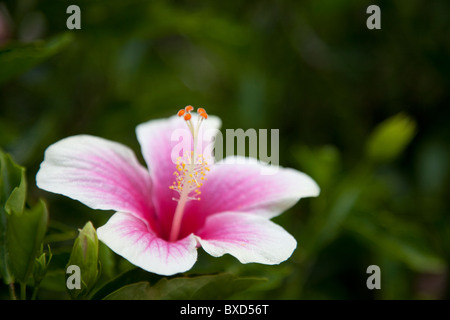 A pink hibiscus flower. - Stock Photo