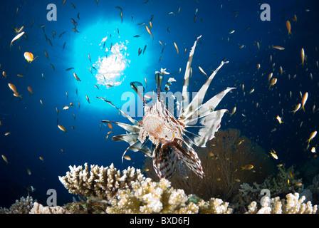 Red Sea lionfish, Gabr el Bint, Dahab, Red Sea, Egypt - Stock Photo