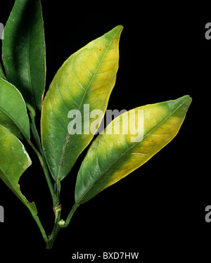 Chlorosis to orange leaves caused by magnesium deficiency in the tree - Stock Photo