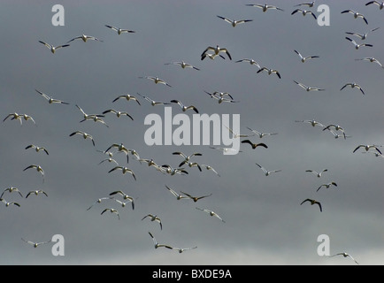 Flight of birds in March at Lower Klamath National Wildlife Refuge, California, USA - Stock Photo