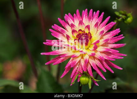 Combination of yellow and pink Dahlia flower blooming in the late Summer/early Autumn season - Stock Photo