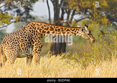 Giraffe with bird on its back, seen on safari in South Luangwa National Park, Zambia, Africa. - Stock Photo