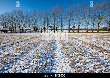 Line of leafless poplar trees silhouetted against a blue sky.  Snow covered wheat stubble field in the foreground. - Stock Photo