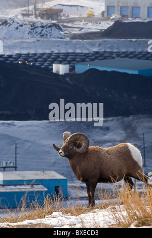 A vertical image of an adult Bighorn Sheep walking along a ridge overlooking a coal mine processing plant. - Stock Photo