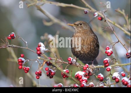 Eurasian Blackbird - Common Blackbird (Turdus merula) female eating haws in hawthorn in winter -Louvain-La-Neuve - Stock Photo