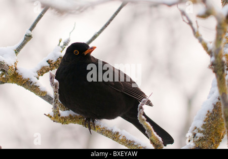 Male Blackbird perched on snow covered branch - Stock Photo