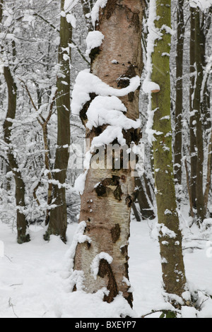 Silver birch (Betula pendula) in snow in woodlands in England, UK - Stock Photo