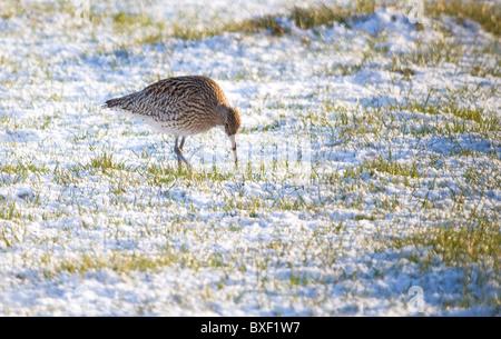curlew (numenius arquata) feeding in snow covered field - Stock Photo