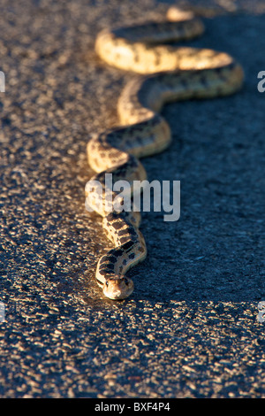Great basin gopher snake - Stock Photo