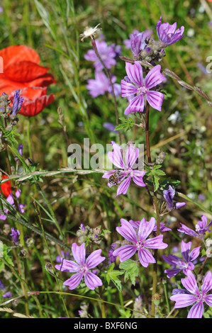 Musk-mallow (Malva moschata) flowering in a wild meadow at spring - Cevennes - France - Stock Photo