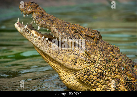Nile Crocodile (Crocodylus niloticus) looking out from the water. - Stock Photo