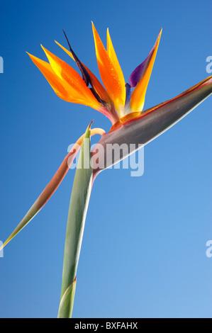 Bird of Paradise flower - Stock Photo