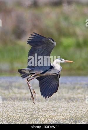 Grey Heron (Ardea cinerea) taking off - Stock Photo