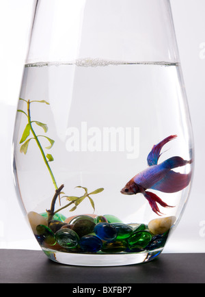Betta Splendens, Siamese Fighting Fish - Stock Photo