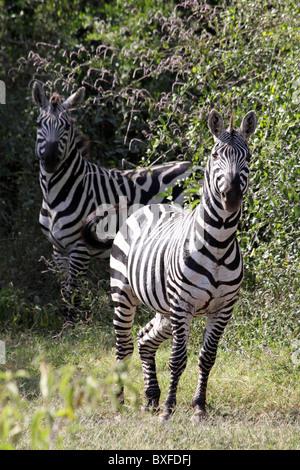 Two Plains Zebra Nervously Looking At Camera, Lake Chamo, Ethiopia - Stock Photo