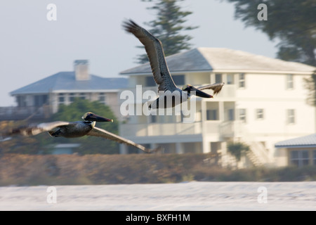 Brown pelicans, Pelecanus occidentalis, in flight off Florida coast in the Gulf of Mexico, Anna Maria Island, USA - Stock Photo