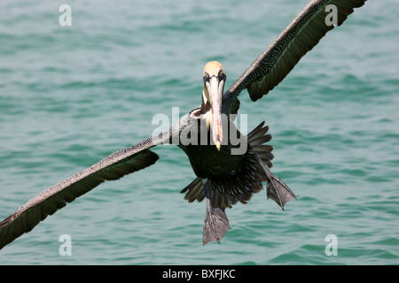 Brown pelican coming in to land off the Florida coast in the Gulf of Mexico by Anna Maria Island, United States - Stock Photo