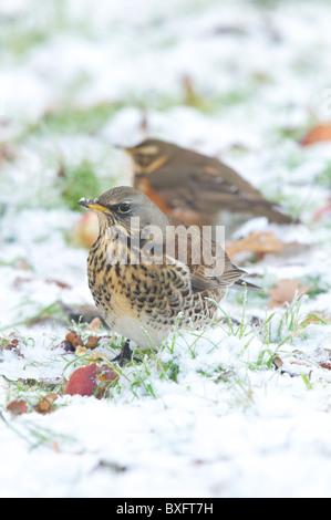 fieldfare & redwing winter UK Stock Photo