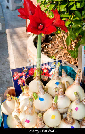 Flower bulbs for sale at Chatuchak Weekend Market, Bangkok, Thailand. - Stock Photo