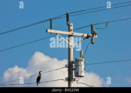 Bird on the wire. Cormorant, power and telephone cables on telegraph pole, Everglades, Florida - Stock Photo
