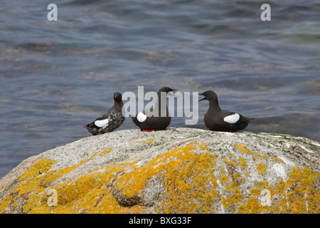 Black Guillemots on the Isle of Arran, Scotland - Stock Photo