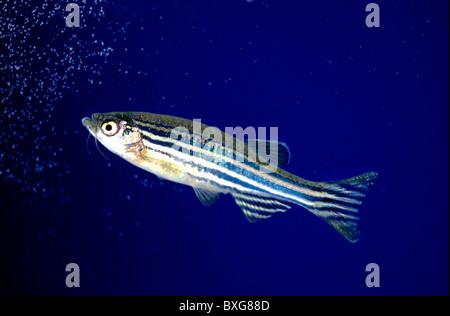 Zebrafish, aquarium - Stock Photo