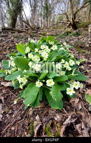 Primrose Primula vulgaris growing on a woodland floor in Somerset - Stock Photo