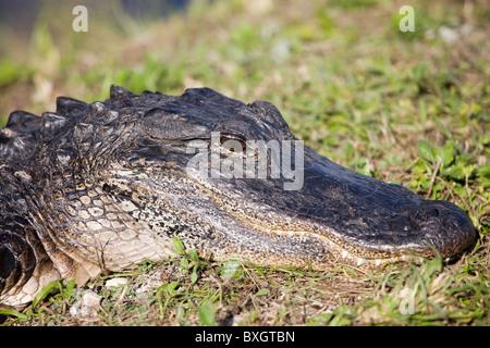 Alligator in The Everglades, Florida, United States of America - Stock Photo