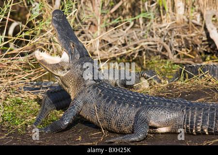 Alligator by Turner River, Everglades, Florida, USA - Stock Photo