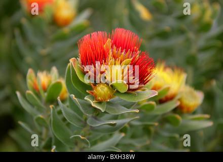 Tufted Pincushion Protea, Leucospermum oleifolium, Proteaceae. Mountain Fynbos, Western Cape, South Africa. - Stock Photo