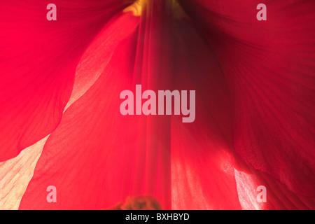 Stock Photo of Red Amaryllis - Stock Photo