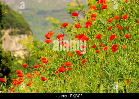Mohn am Gardasee - corn poppy near lake garda 01 - Stock Photo