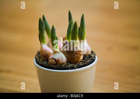 Stock Photo of Tulip - Stock Photo