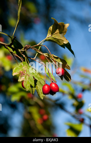 Red berries in the sunlight. - Stock Photo